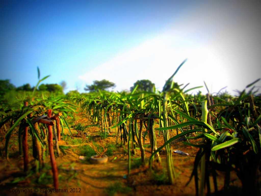Agro Tourism Batam - Dragon Fruit