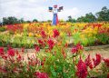 Taman Bunga Chelosia di Agro Piknik